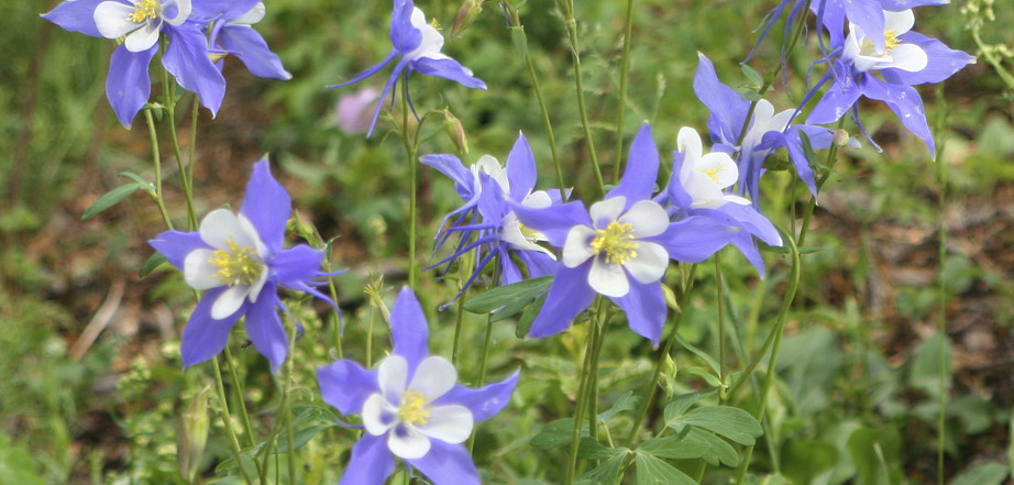 Columbines as Aspen Winds