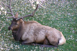 Bull elk resting at Aspen Winds
