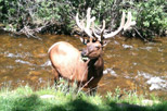 Elk standing in Fall River at Aspen Winds