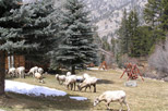 Flock of Bighorn Sheep grazing on the grounds at Aspen Winds