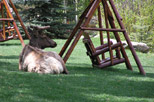 Elk resting on the grounds at Aspen Winds